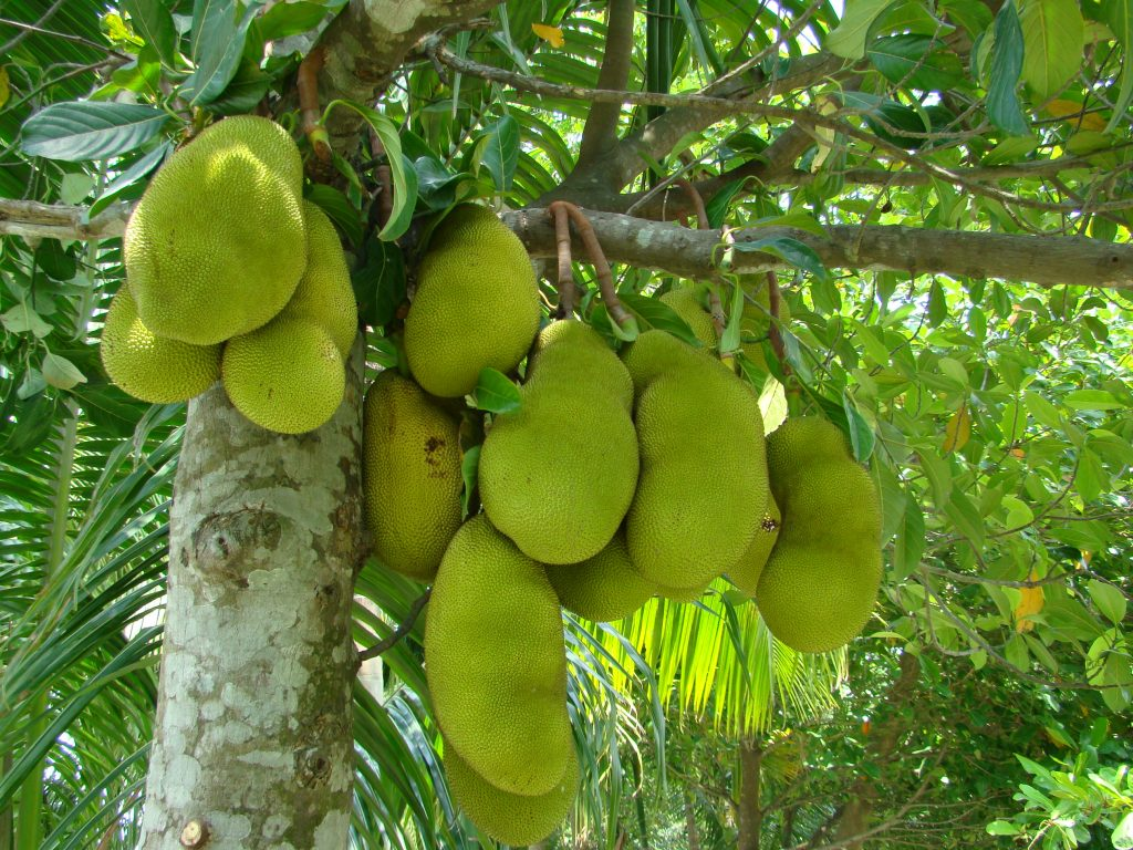 jackfruit_bangladesh_3