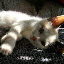 """Le petit chaton a pris ses marques dans sa nouvelle famille. Elle est magnifique, grandie très vite et heureuse. Nous sommes tous """"gaga"""". #chaton #chat Comment ne pas craquer pour cette petite tête si mignonne ?"""